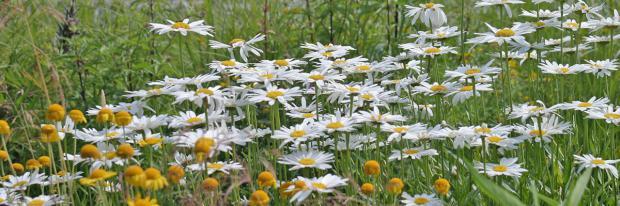Wiesen-Margeriten im Wildgarten