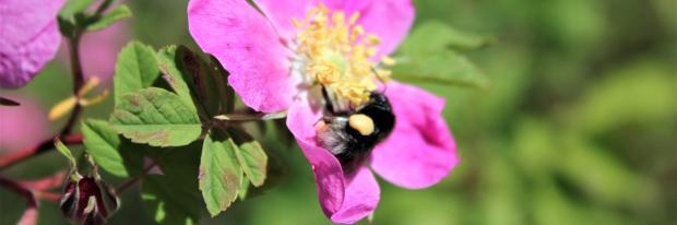 Wildbiene auf einer Wildrose   © Dagmar D.