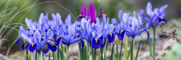 Blau schillernde Zwiebeliris