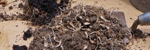 Blumenzwiebeln pflanzen - Ausgraben, vermehren und umpflanzen - Header