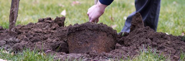 Junge Bäume umpflanzen - Wurzelballen ausheben
