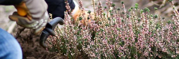 Besenheide im Ziergarten anpflanzen