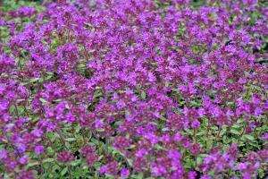 Die 10 effektivsten Bodendecker für den Garten