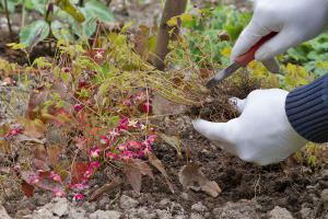 Elfenblume vermehren