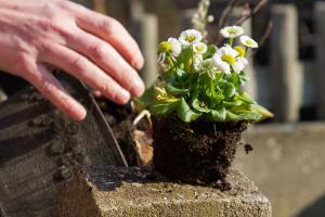 Frühlingsblumen recyceln – Tulpen nach der Blüte auspflanzen