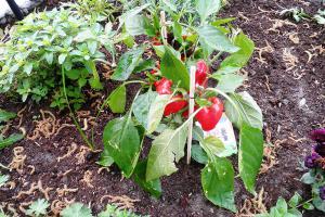 Kräuter und Gemüse vorziehen - Reiche Ernte mit selbst aufgezogenen Pflanzen