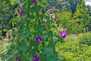 Die 10 eifrigsten Kletterpflanzen für den Garten