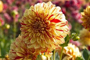 Die 9 begehrtesten Knollenpflanzen für den Garten