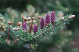 Die 10 schönsten Nadelgehölze für den Garten
