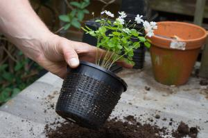 Rautenanemone pflanzen – Der richtige Umgang mit Pflanzenraritäten