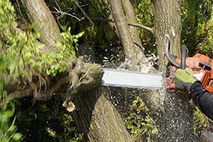 Baum selber fällen - Anleitung zum Fällen einer Weide