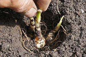Blumenzwiebeln pflanzen - Ausgraben, vermehren und umpflanzen