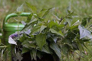 Brennesseljauche herstellen - Blattläuse bekämpfen mithilfe der Natur