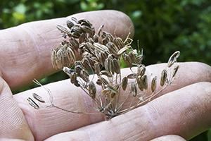 Saatgut selber machen - Im Garten Samen ernten