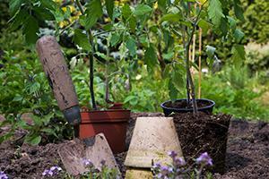Tomaten anbauen - Anleitung für erfolgreichen Anbau