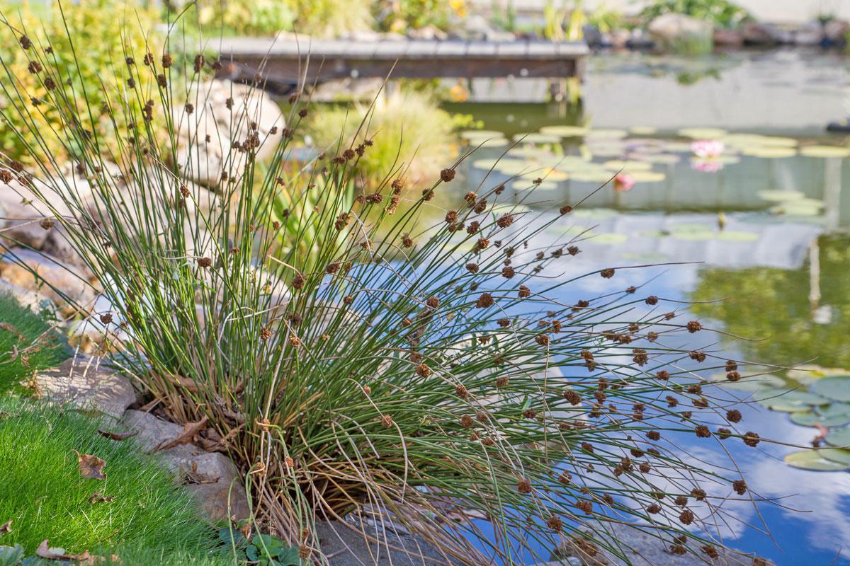 Atemberaubend 10 gartenfreundliche Teichrandpflanzen und Uferpflanzen - Garten #KB_75