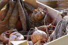 Knollenpflanzen wie Gladiolen und Dahlien vorziehen